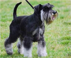 Miniature Schnauzers For Sale - Dog Breeders