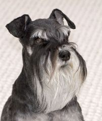 2 Beautiful Miniature Salt&Pepper Female Schnauzer - Dog Breeders
