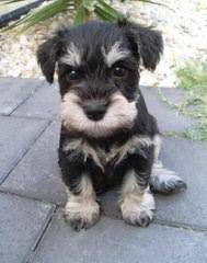 Sandcreek Pets Veterinarian Raised Miniature Schnauzer Puppies In Ok - Dog Breeders