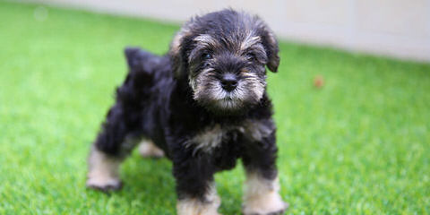 PuppyWuvHappyHomes - Dog Breeders