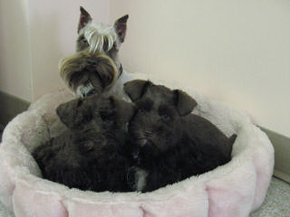 Sabrina's Miniature Schnauzers - Dog Breeders