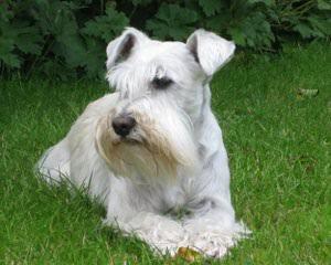 Miniature Schnauzers - Dog Breeders