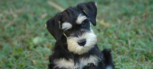 Miniature Schnauzers - Dog Breeders