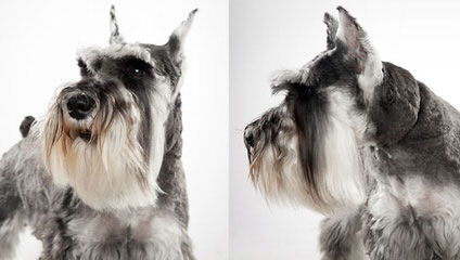 McDorable Miniature Schnauzers - Dog Breeders