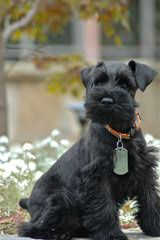 Virginia Miniature Schnauzers - Dog Breeders