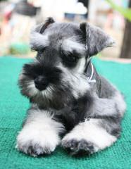Country Home Schnauzer - Dog and Puppy Pictures