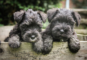 Miniture Schnauzer - Dog Breeders
