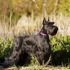 Von Faulker - Dog Breeders