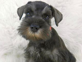 Country Home Schnauzer - Dog Breeders