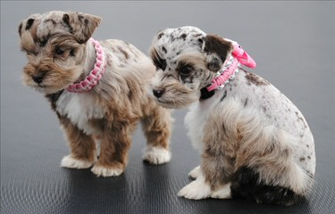 Sandcreek Pets Veterinarian Raised Miniature Schnauzer Puppies In Ok - Dog Breeders