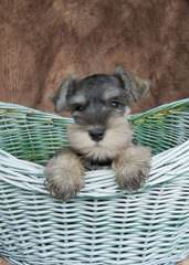 2 Beautiful Miniature Salt&Pepper Female Schnauzer - Dog Breeders