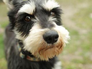 Hurd's Schnauzers - Dog Breeders