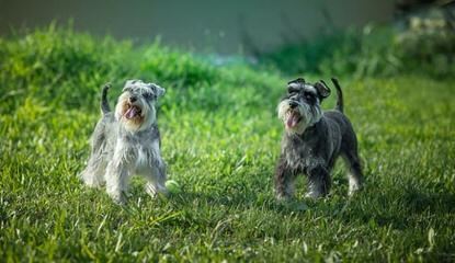 Dogwood Acres Miniature Schnauzers - Dog Breeders