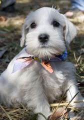 Kindred's Classic Schnauzers - Dog Breeders