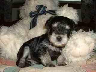 Akc Ch. Line Toy Mini Schnauzers - Dog Breeders