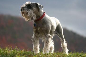 Schnauzers – Toy & Miniature - Dog Breeders