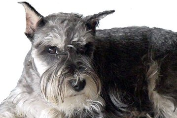 Talk'n Dawgs' Blue Spaniels Miniature Schnauzer - Dog Breeders