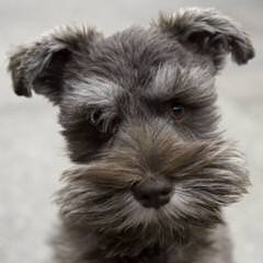 Mauzer Pups – Miniature Schnauzer - Dog Breeders