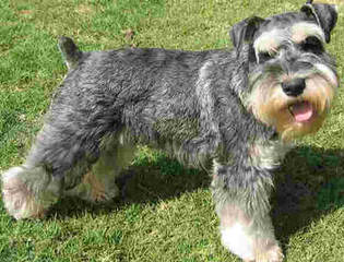 Mini Schnauzer Puppies - Dog Breeders