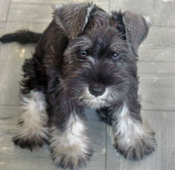 Tinker Toy Schnauzers - Dog Breeders