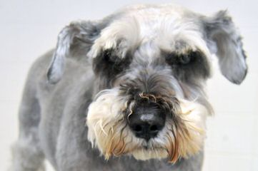 Kindred's Classic Schnauzers - Dog Breeders