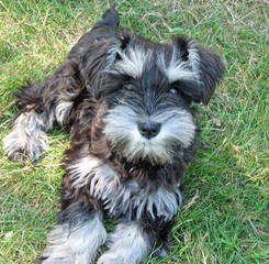 Schnauzers – Toy & Miniature - Dog and Puppy Pictures