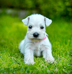 Parti Paws Teacup, Toy & Mini Schnauzers - Dog Breeders