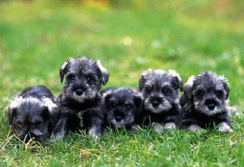 My Schnauzers - Dog Breeders