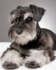 Schnauzers Of Taylor - Dog Breeders