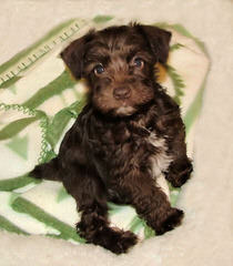 Belle Vista Miniature Schnauzers - Dog Breeders