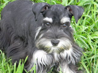 Tinker Toy Schnauzers - Dog and Puppy Pictures