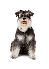 Mauzer Pups – Miniature Schnauzer - Dog Breeders