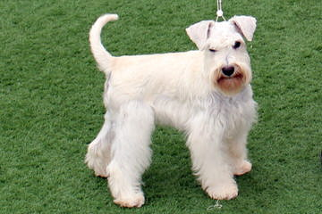 Schnauzers of Ga - Dog Breeders