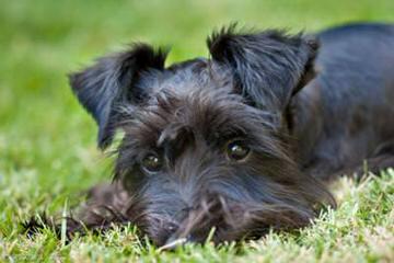 Tinker Toy Schnauzers - Dog Breeders
