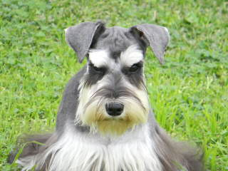 Tiny Tot Schnauzers - Dog Breeders