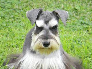SchnauzersRus.com - Dog Breeders