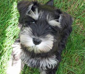 Toy Box Schnauzer - Dog Breeders