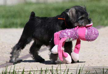 Parti Paws Teacup, Toy & Mini Schnauzers - Dog Breeders