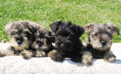 Tiny Tot Schnauzers - Dog and Puppy Pictures