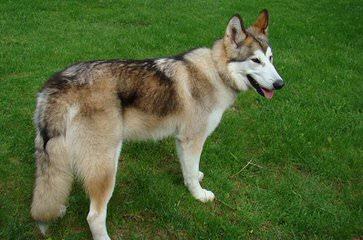 Jaace's Animal Companions - Dog Breeders