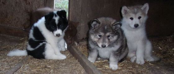 Majestic View Kennels New Pups - Dog Breeders
