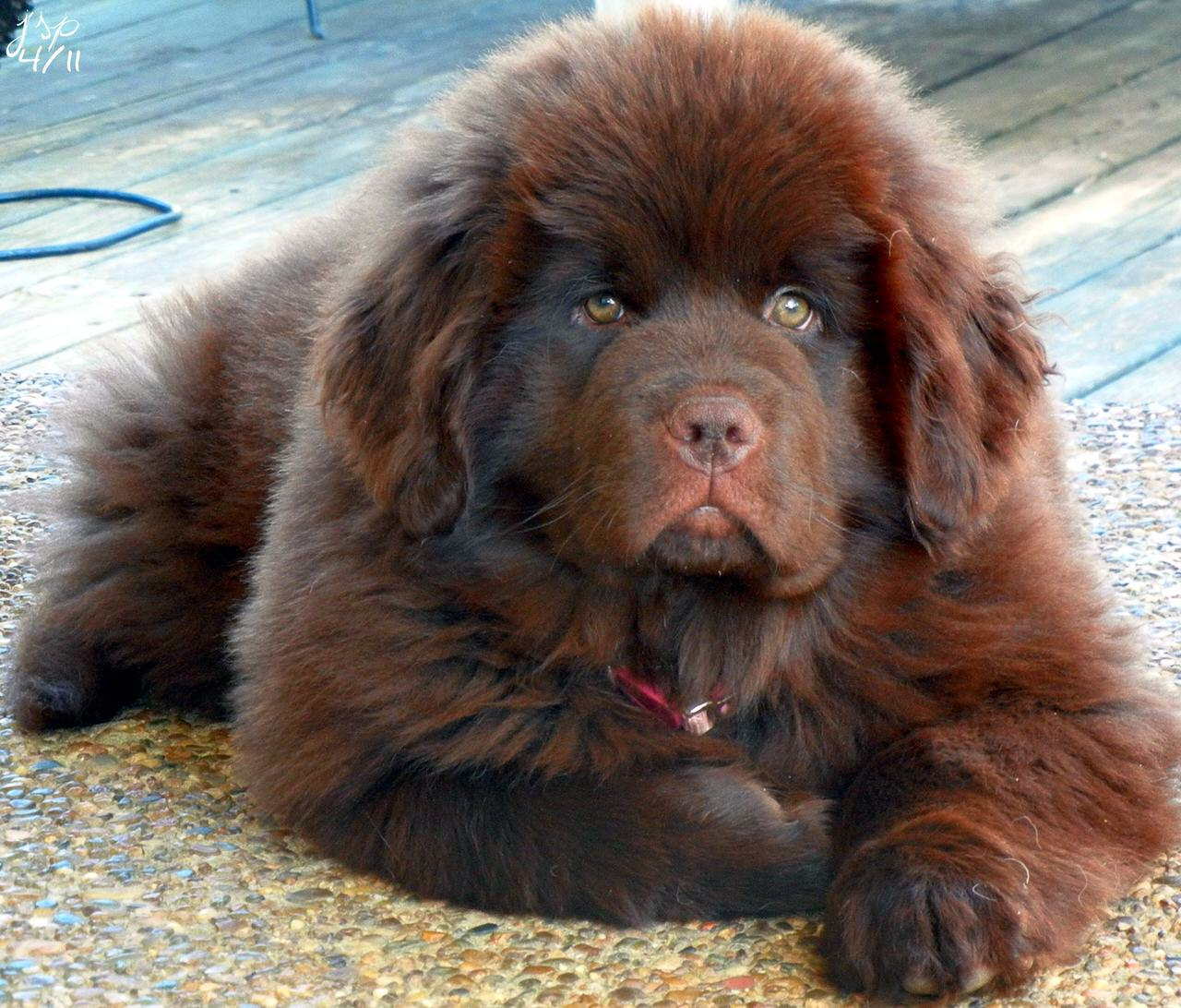 Newfoundland Dogs and Puppies