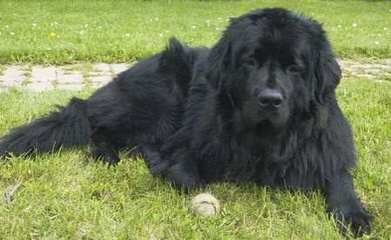 Newfoundland Dog For Sale Seattle