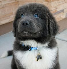 Rockmere Newfoundlands - Dog and Puppy Pictures
