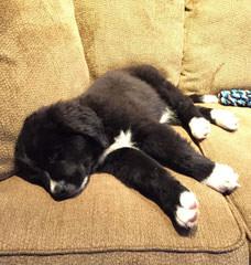 Babyboomers Newfoundland Dogs - Dog Breeders