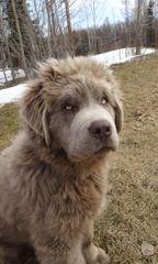 Greatbasin Newfoundlands - Dog Breeders