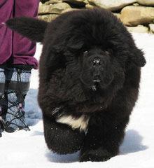 Surcouf Newfoundlands - Dog Breeders