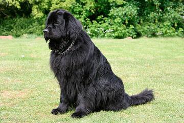 Bearbrook Newfoundlands - Dog Breeders