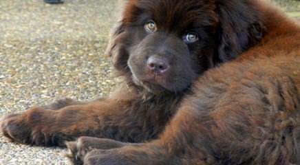 Blueberryhill Newfoundlands - Dog Breeders