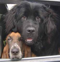 Moose Peak Newfoundlands - Dog and Puppy Pictures